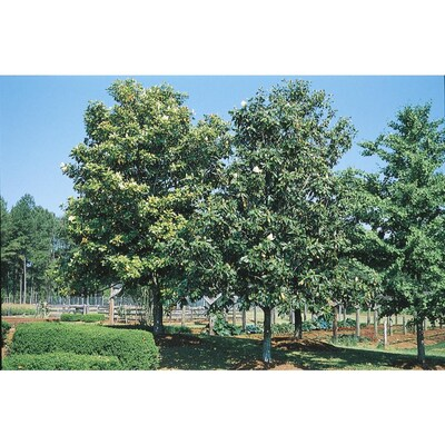 8 75 Gallon White D Blanchard Magnolia Flowering Tree In