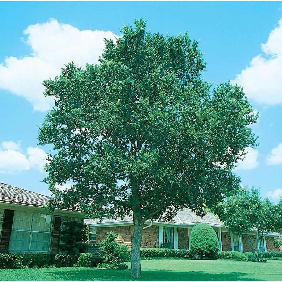 28.5-Gallon Cedar Elm Shade Tree (L1416)