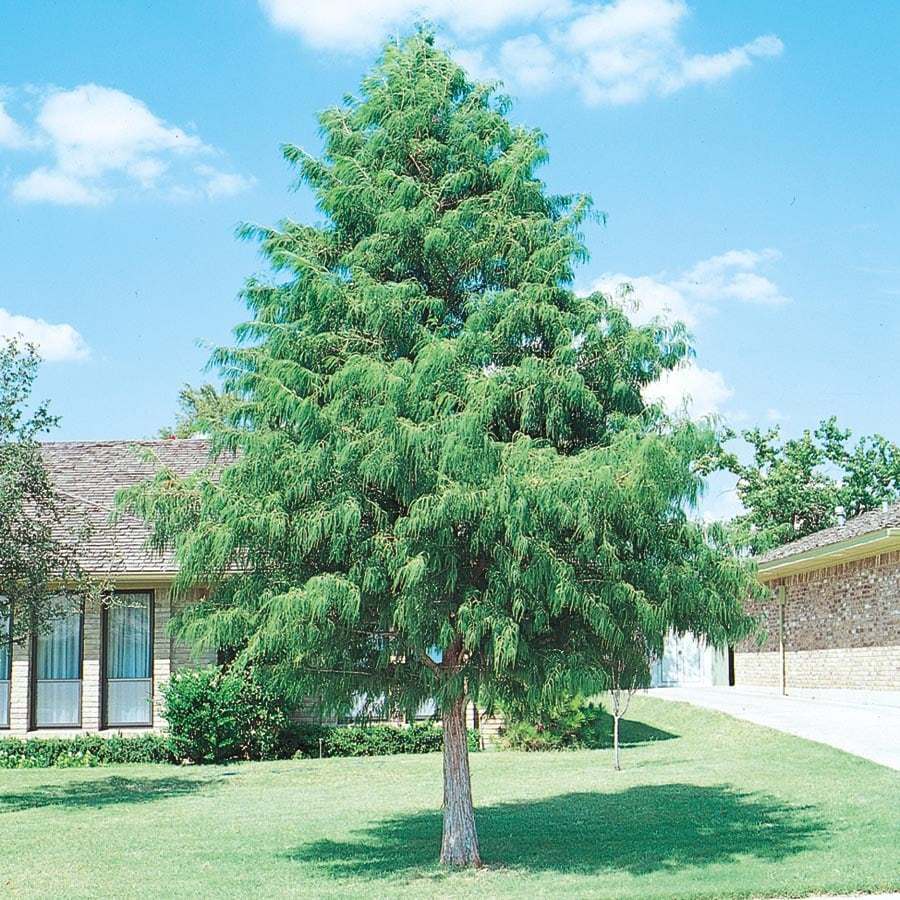 Shop 19 5 Gallon Bald Cypress Shade Tree L3245 At Lowes Com