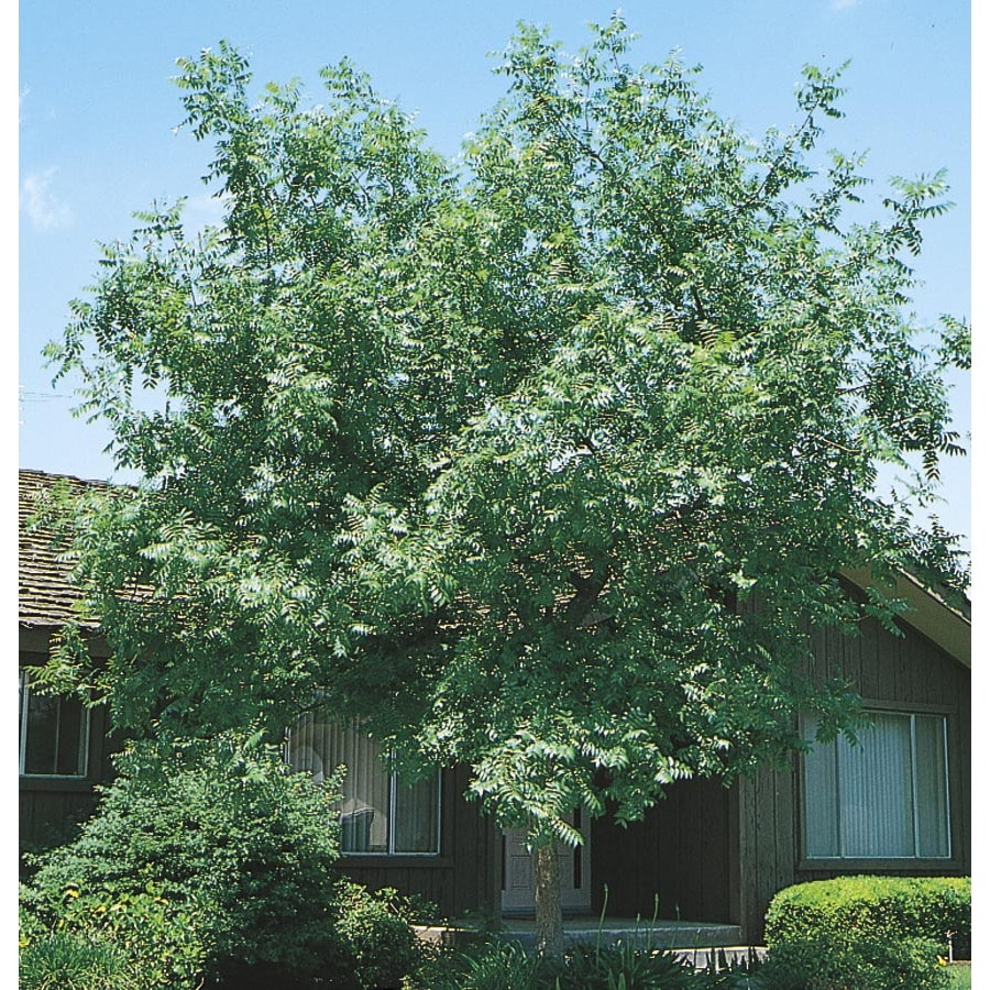 19.5-Gallon Chinese Pistache Shade Tree (L1089)
