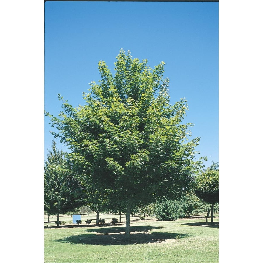 19.5-Gallon Red Maple Shade Tree (L1144)