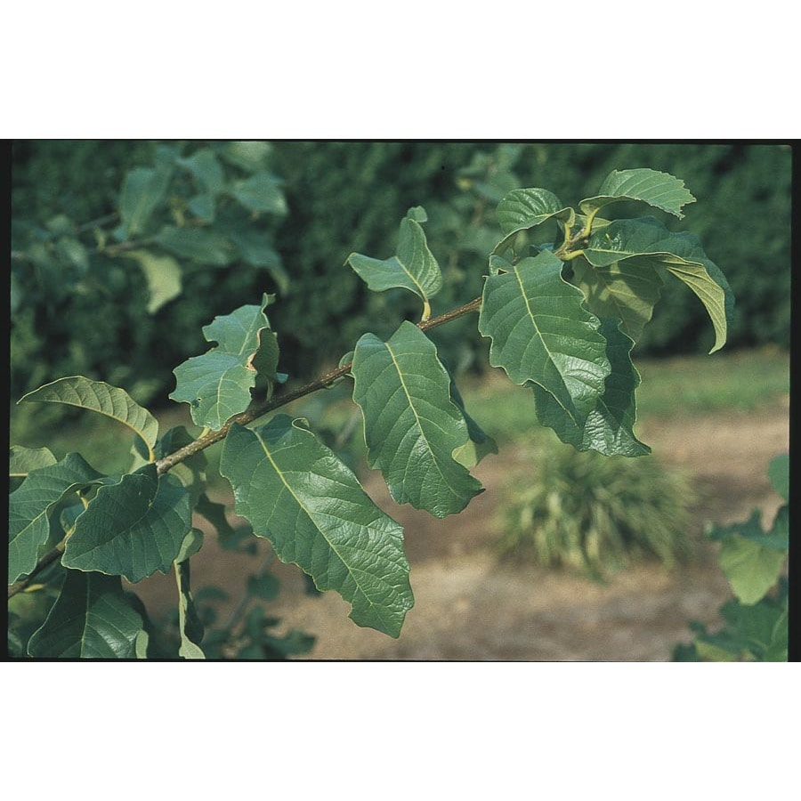 3.25-Gallon Monterey Oak Shade Tree (L11189)