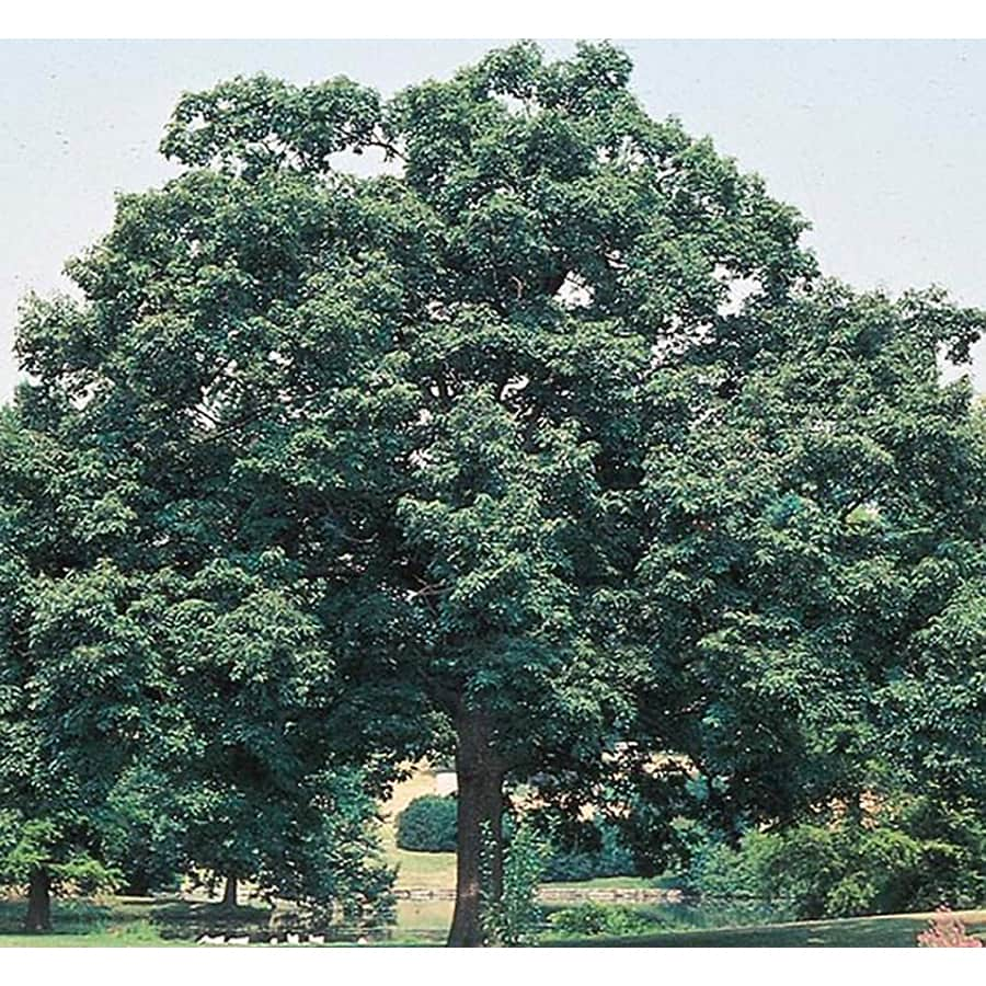 8.75-Gallon Chinquapin Oak Shade Tree (L5853)