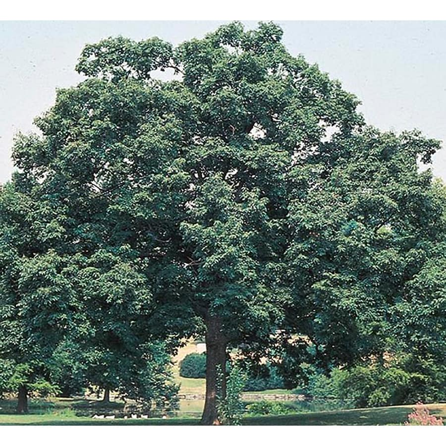 3.25-Gallon Chinquapin Oak Shade Tree (L5853)
