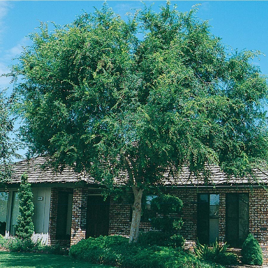 28.5-Gallon Lace Bark/Chinese Elm Shade Tree (L4376)