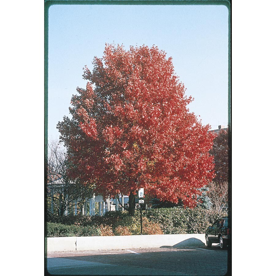 19.5-Gallon October Glory Maple Shade Tree (L3171)