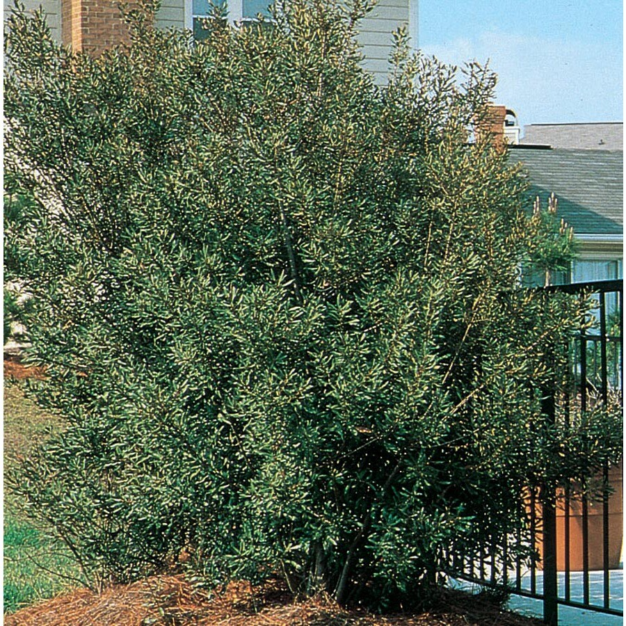 28.5-Gallon Southern Wax Myrtle Screening Shrub (L1370)