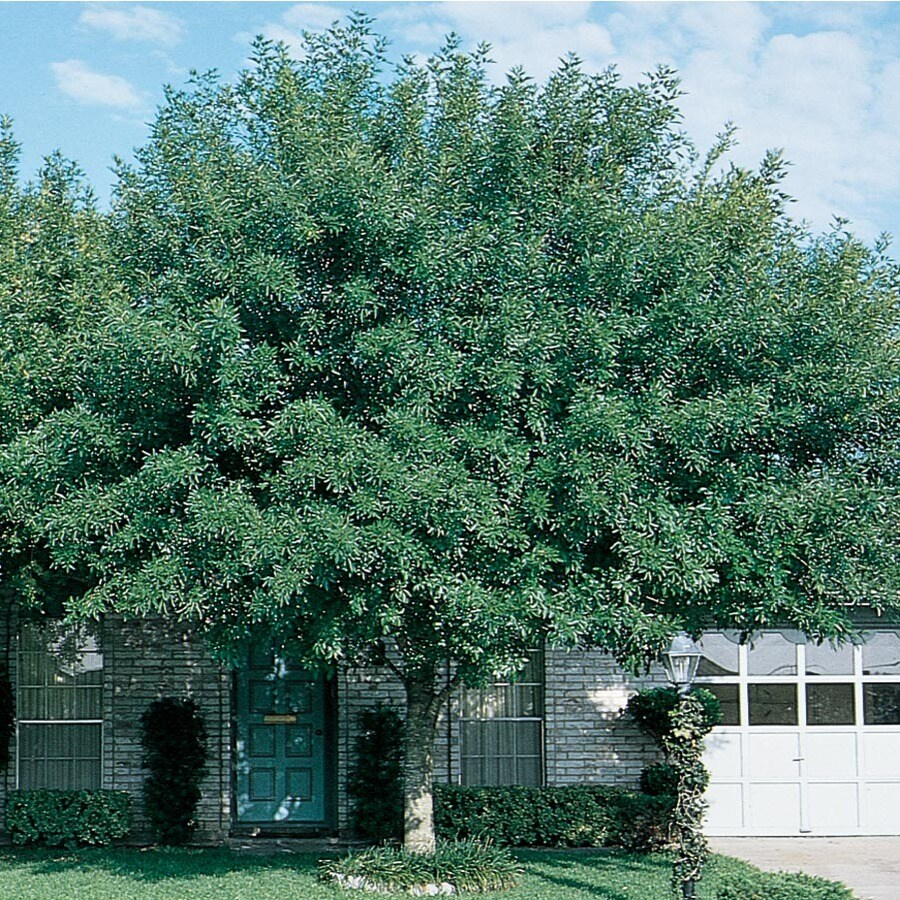6.08-Gallon Arizona Ash Shade Tree (L3496)