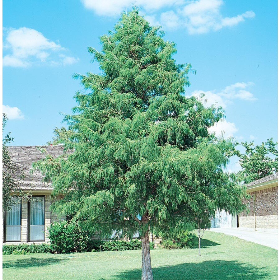 6.08-Gallon Bald Cypress Shade Tree (L3245)