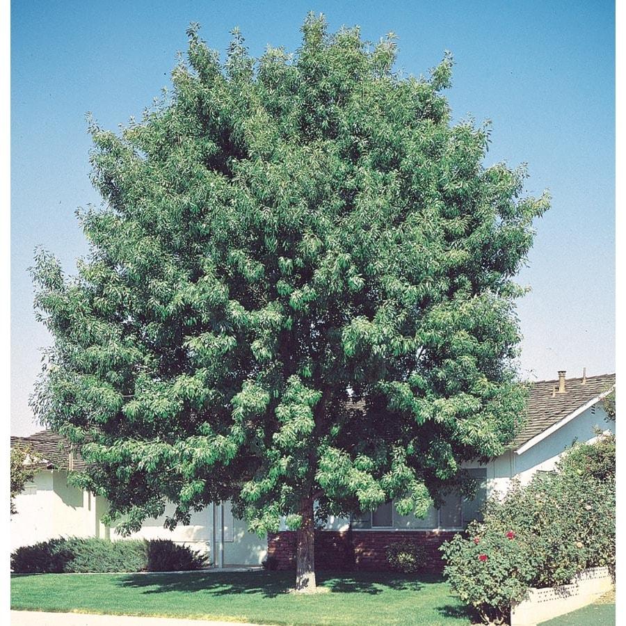 13.35-Gallon Fan-Tex Ash Shade Tree (L1051)