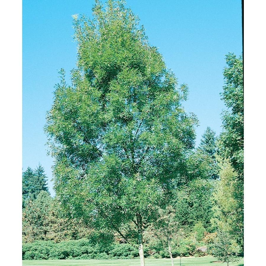13.35-Gallon Raywood Ash Shade Tree (L3493)