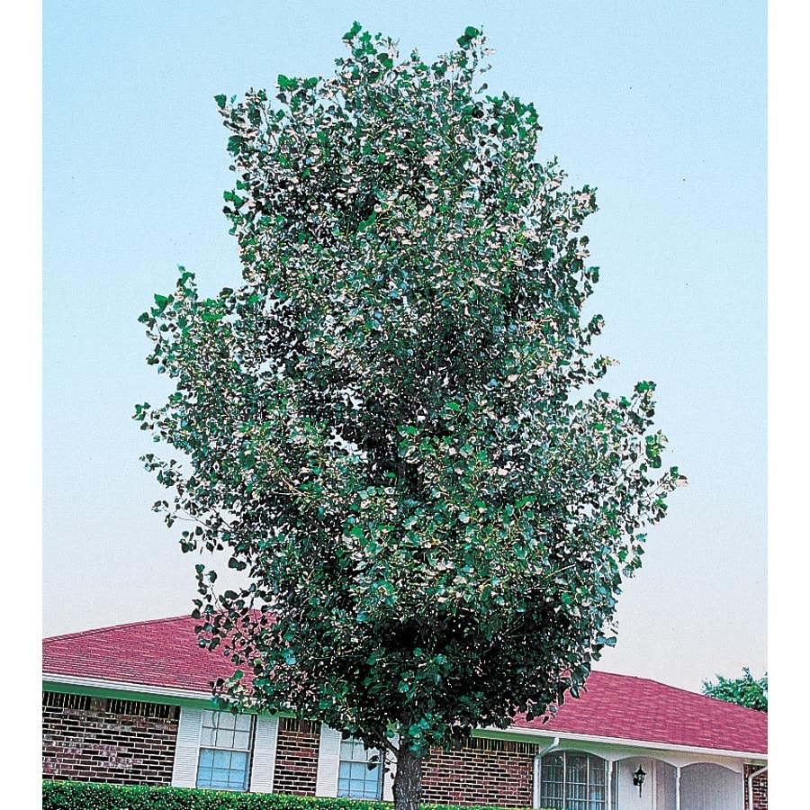 13.35-Gallon Cottonless Cottonwood Shade Tree (L3624)