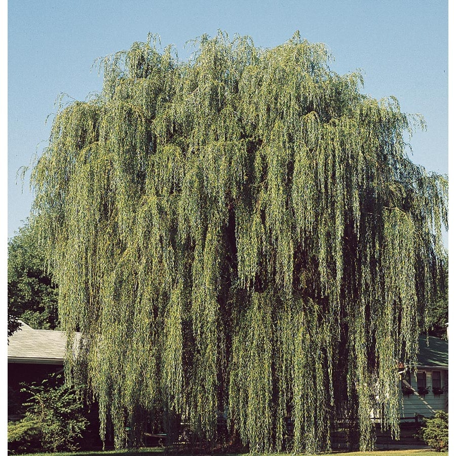 13.35-Gallon Green Weeping Willow Shade Tree (L1411)
