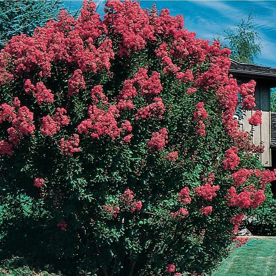 8.75-Gallon Crape Myrtle Flowering Tree (L6644)