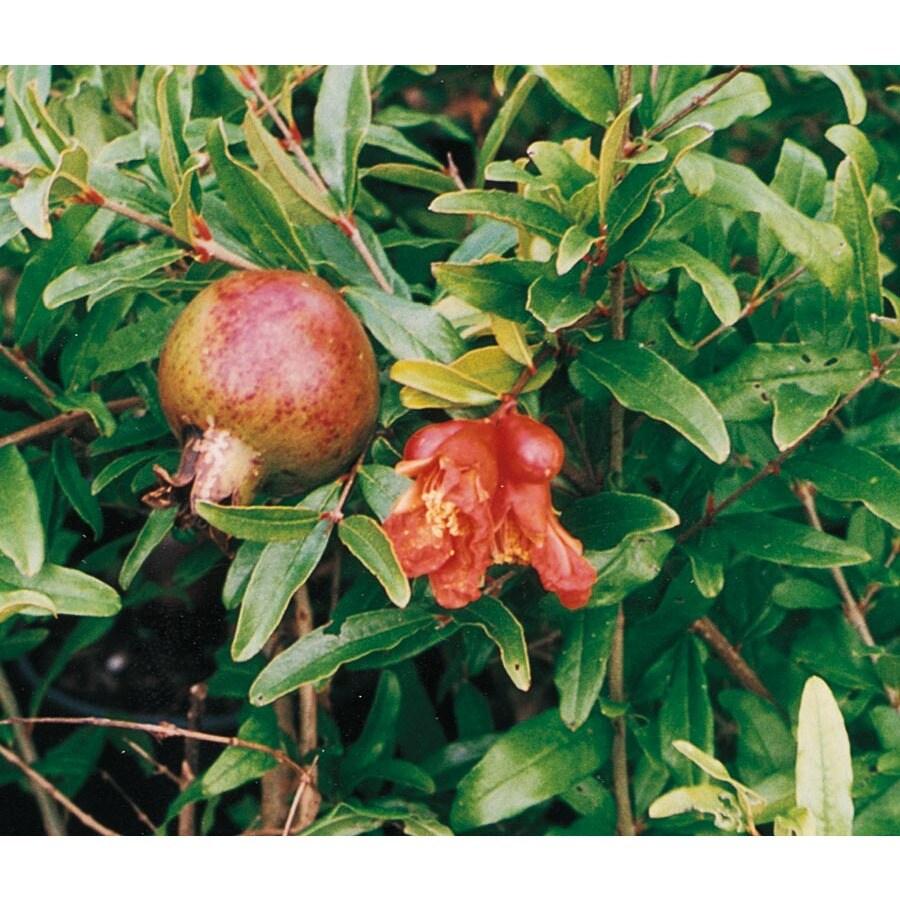 1-Gallon Pomegranate Tree (L7402)