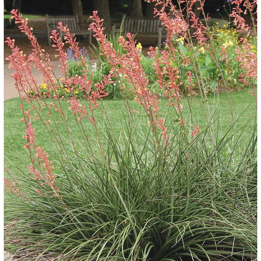 3.73-Gallon Red Red Yucca Feature Shrub (L7029)