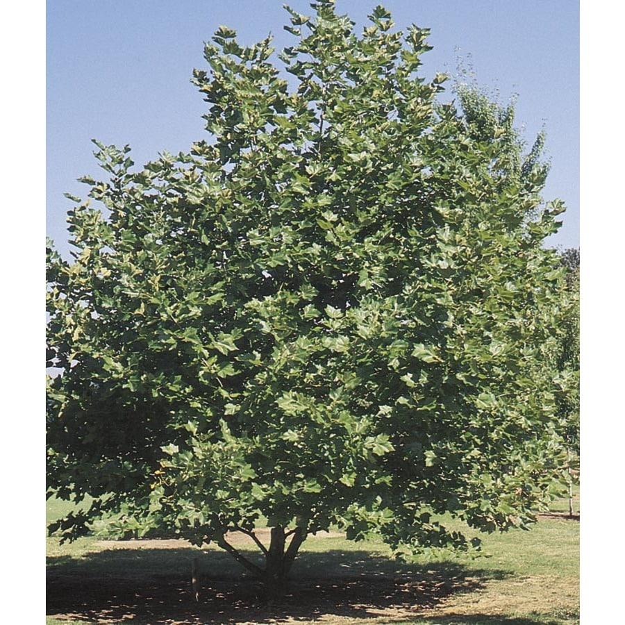3.68-Gallon Mexican Sycamore Shade Tree (L24202)