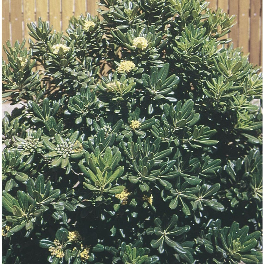 13.35-Gallon White Green Pittosporum Foundation/Hedge Shrub (L10905)