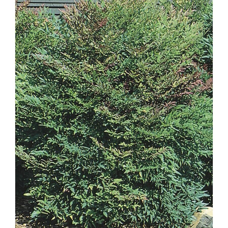 13.35-Gallon White Heavenly Bamboo Accent Shrub (L4346)