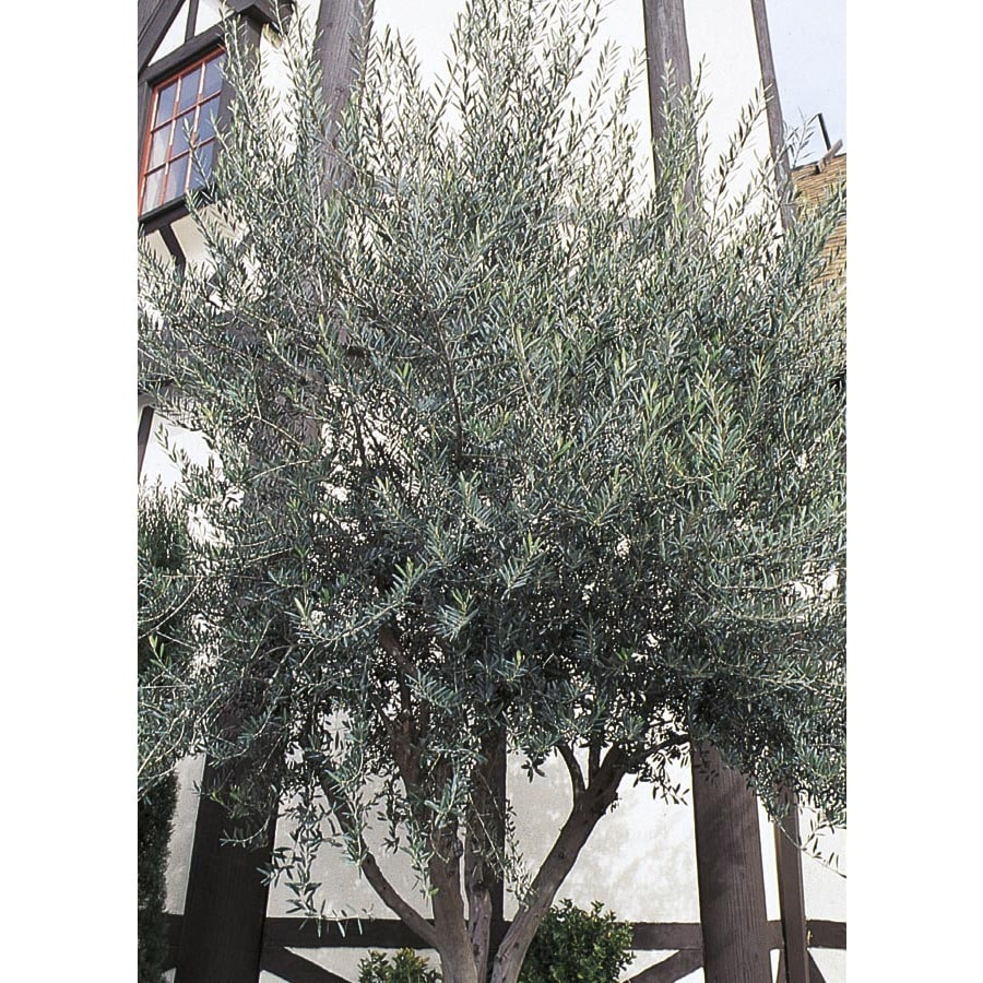 13.35-Gallon Wilson Olive Feature Tree (LW01715)