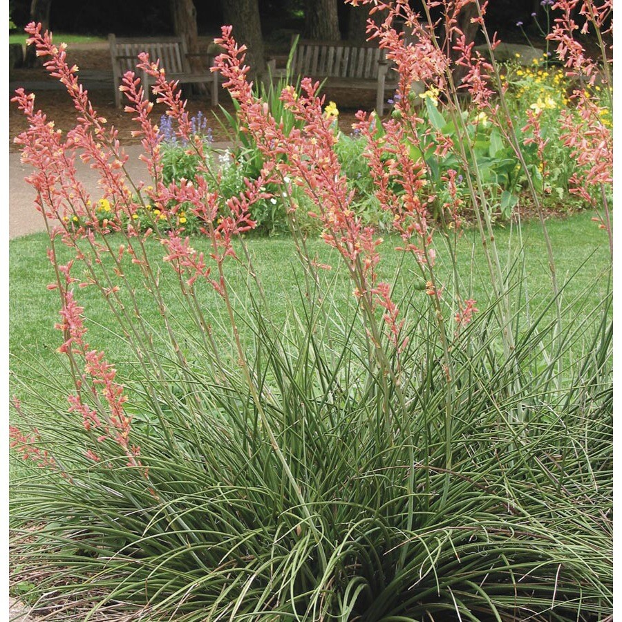 13.35-Gallon Red Red Yucca Feature Shrub (L7029)
