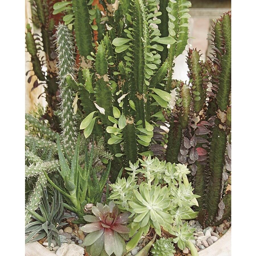 13.35-Gallon Cacti and Succulents (LWALTCS)