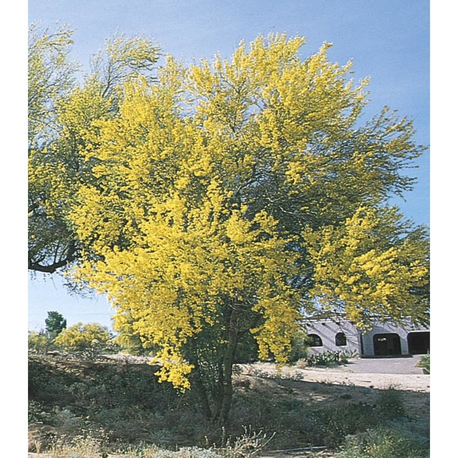 13.35-Gallon Blue Palo Verde Feature Tree (L4007)