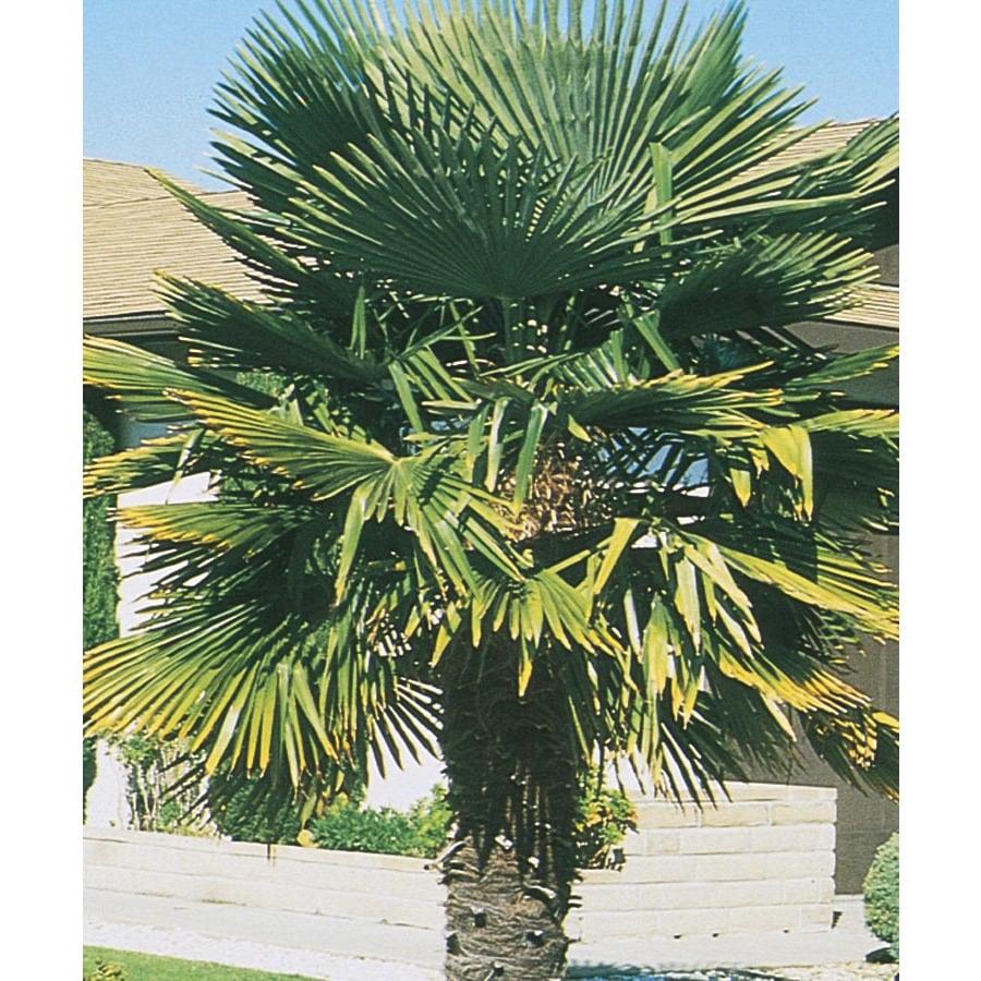 17.95-Gallon Windmill Palm Feature Tree (L5363)