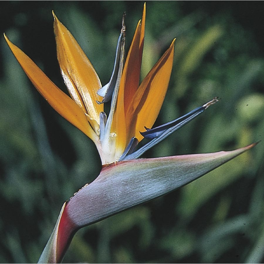 17.95-Gallon Mixed Bird of Paradise Flowering Shrub (L3068)