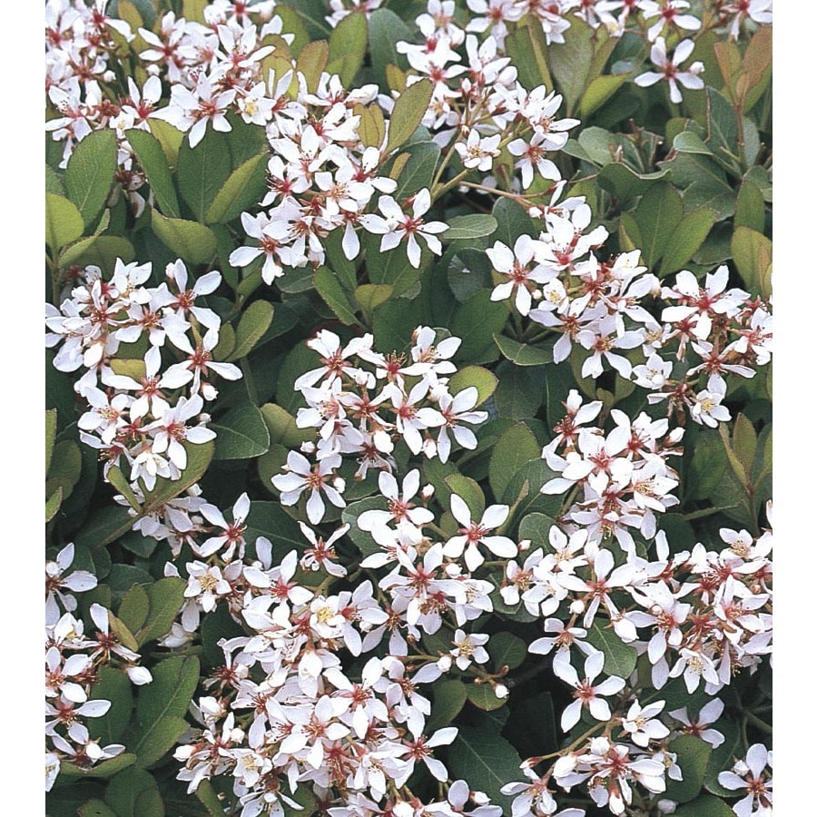 Shop 1335 Gallon White Clara Indian Hawthorn Foundationhedge Shrub
