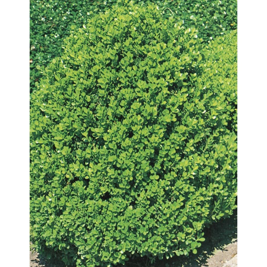 13.35-Gallon Wintergreen Boxwood Foundation/Hedge Shrub (L3448)