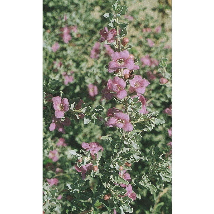 13.35-Gallon Lavender Green Cloud Texas Sage Flowering Shrub (L4062)