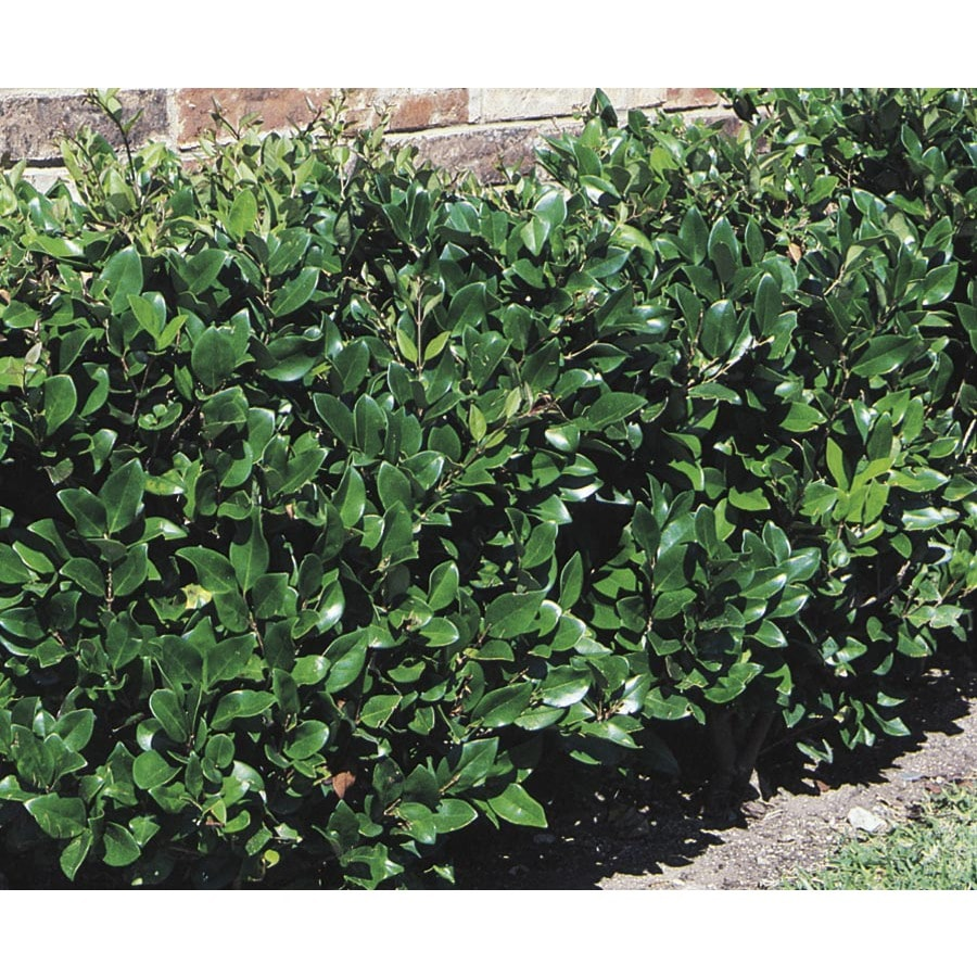 13.35-Gallon White Waxleaf Ligustrum Foundation/Hedge Shrub (L3255)