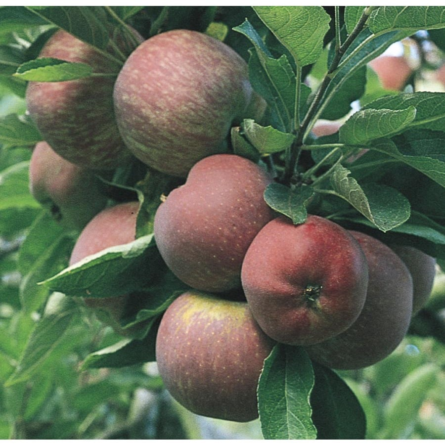 6-Gallon Red Delicious Dwarf Apple Tree (L1320)