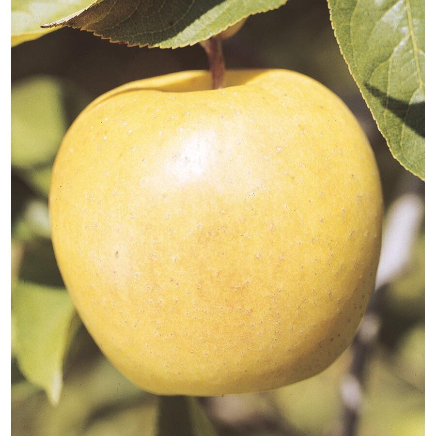 6-Gallon Yellow Delicious Apple Tree (L3207)