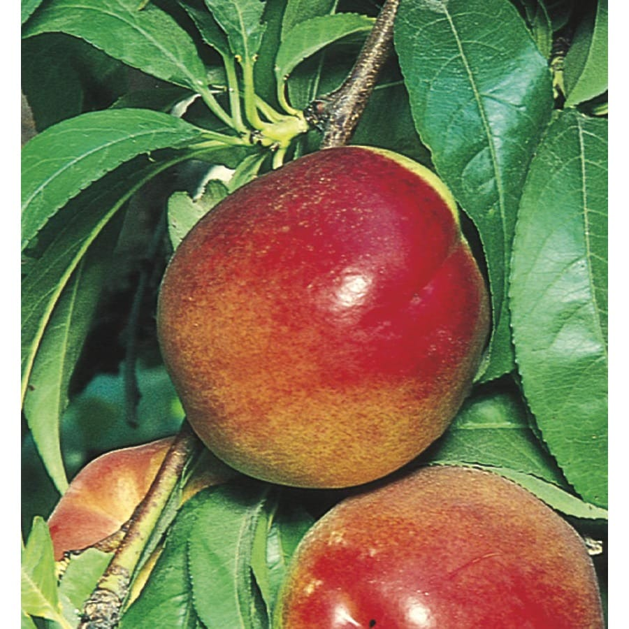 6-Gallon Red Gold Nectarine Tree (L6727)