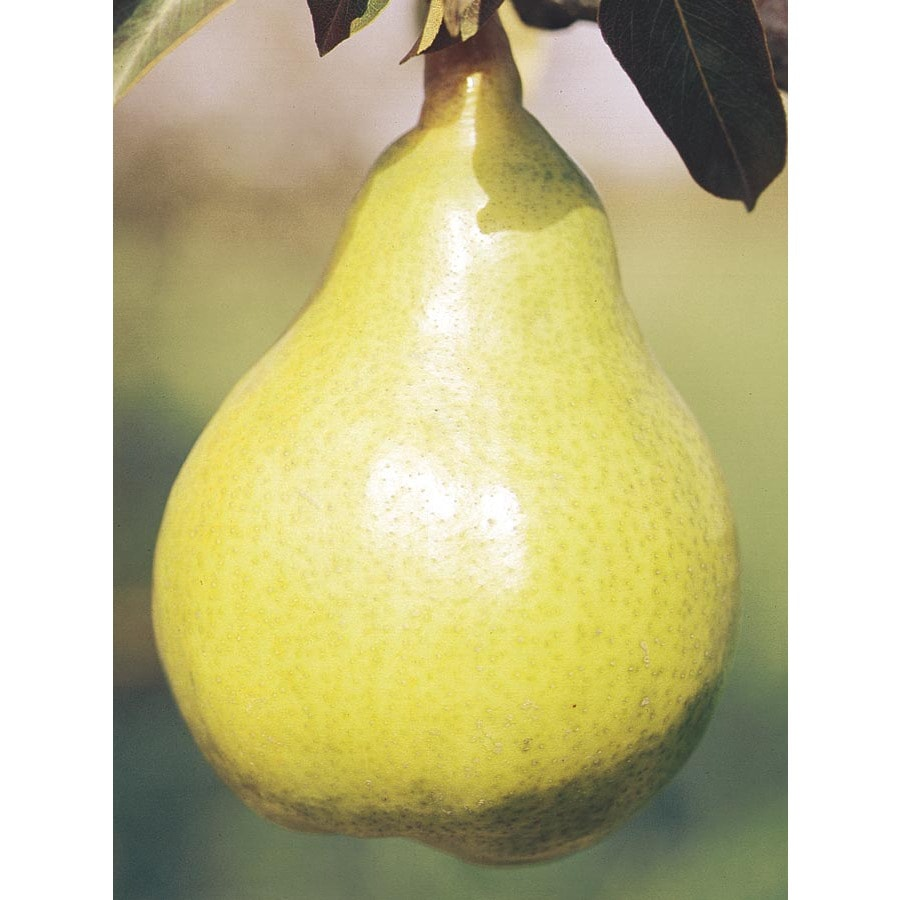 6-Gallon Bartlett Pear Tree (L1386)