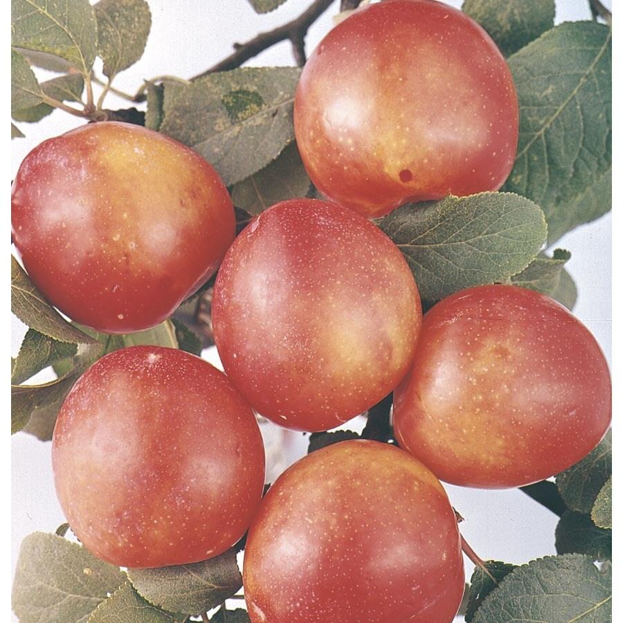 6-Gallon Bruce Plum Tree (L1345)