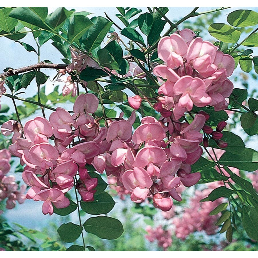 Shop 1335 gallon purple robe locust flowering tree lw01513 at 1335 gallon purple robe locust flowering tree lw01513 mightylinksfo