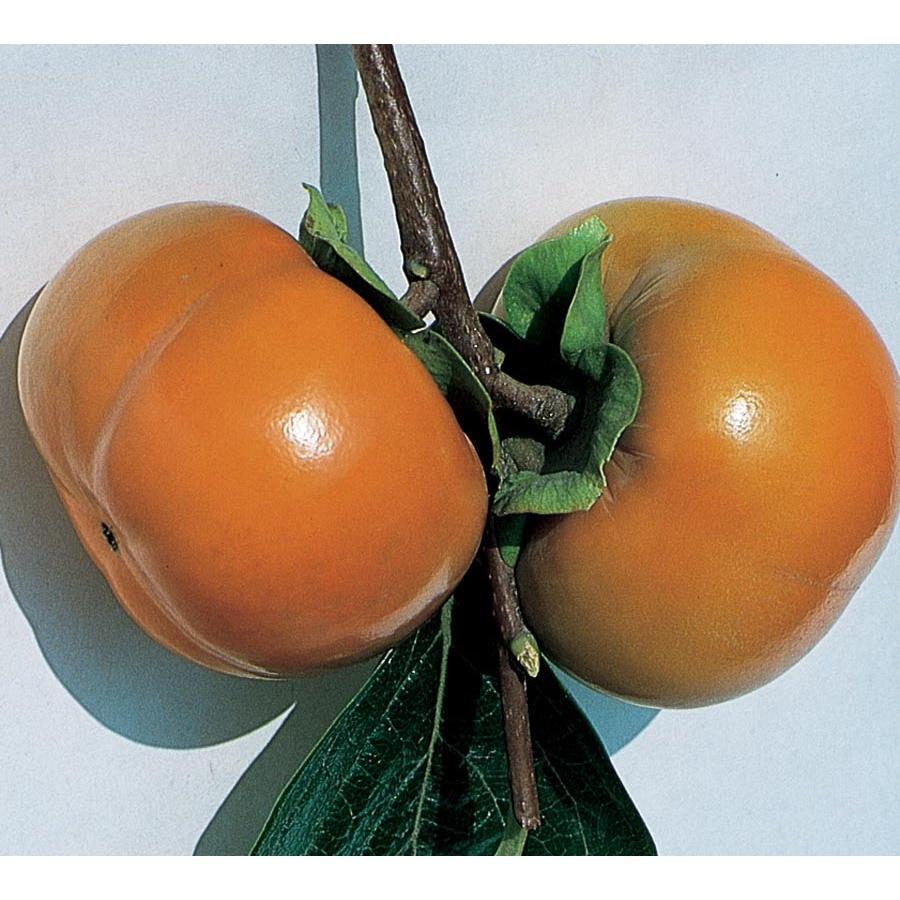 13.35-Gallon Fuyu Persimmon Tree (L3482)