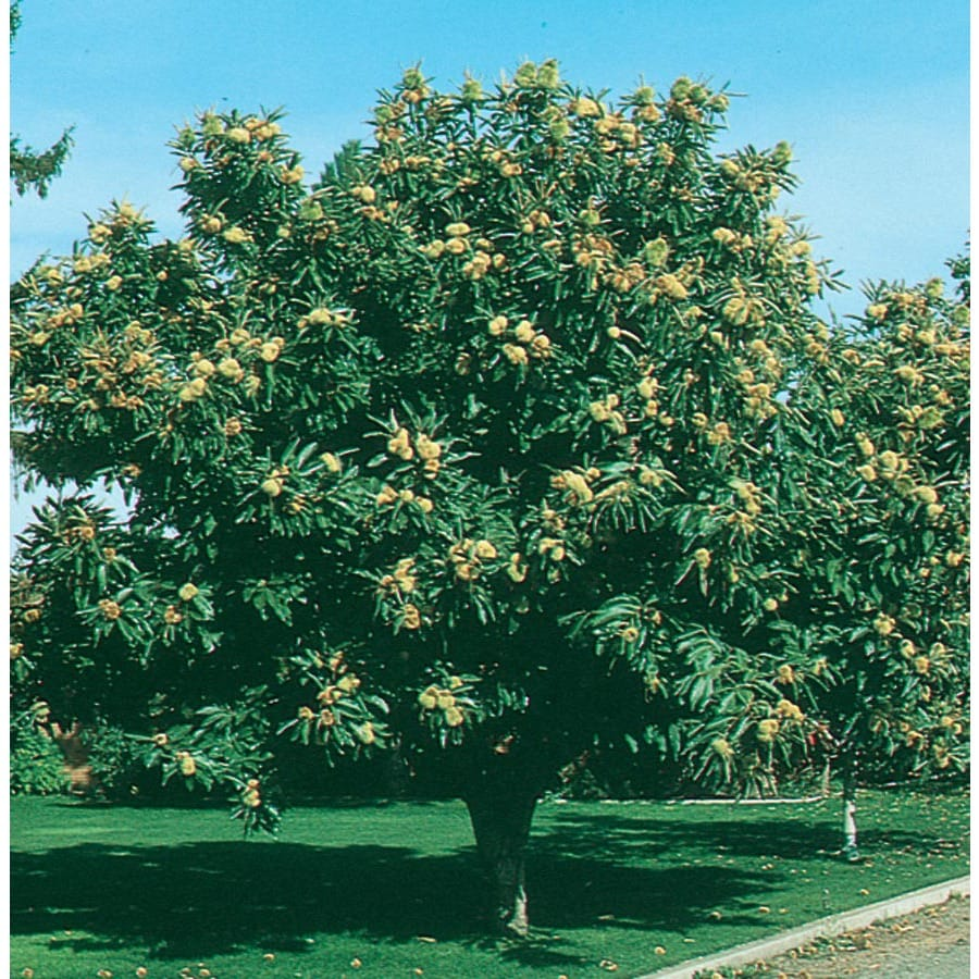 3.25-Gallon Chinese Chestnut Shade Tree (L4859)