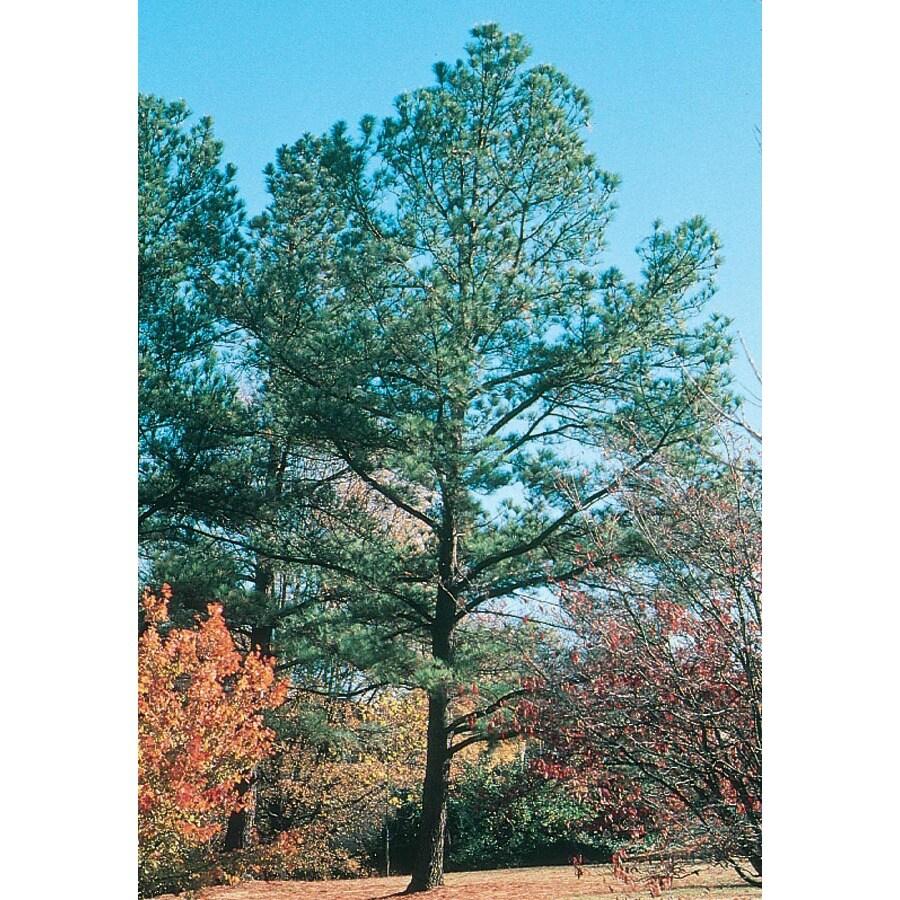 13.35-Gallon Loblolly Pine Feature Tree (L5852)