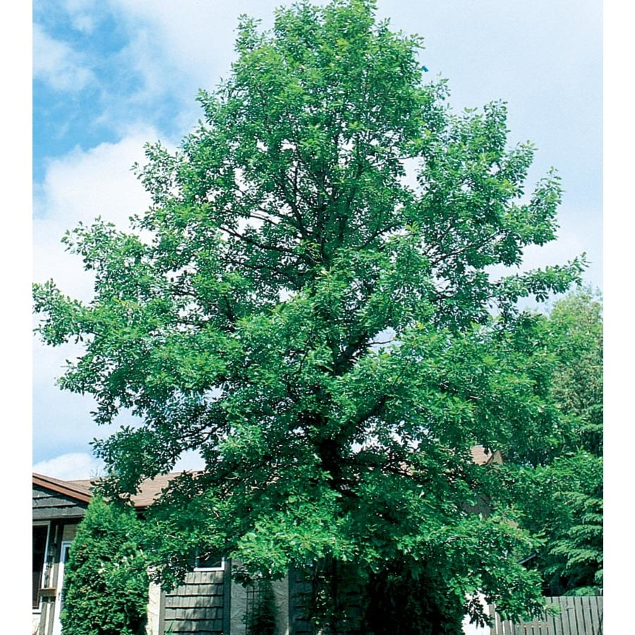 13.35-Gallon Bur Oak Shade Tree (L1102)