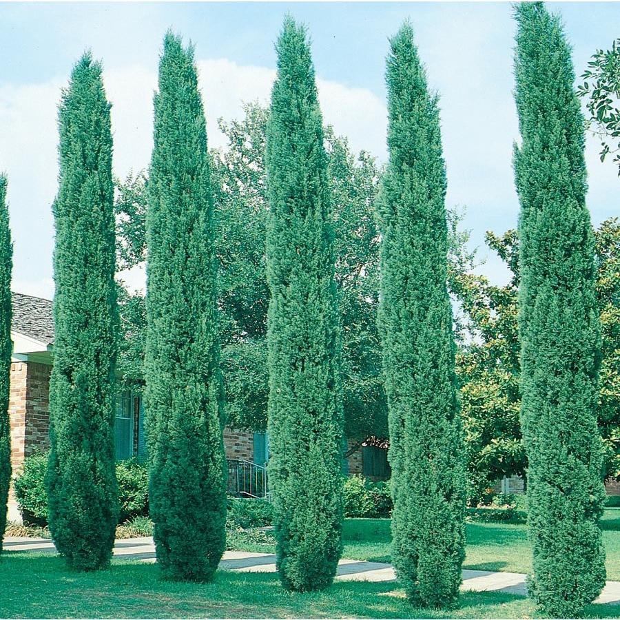 13.35-Gallon Italian Cypress Feature Tree (L3291)