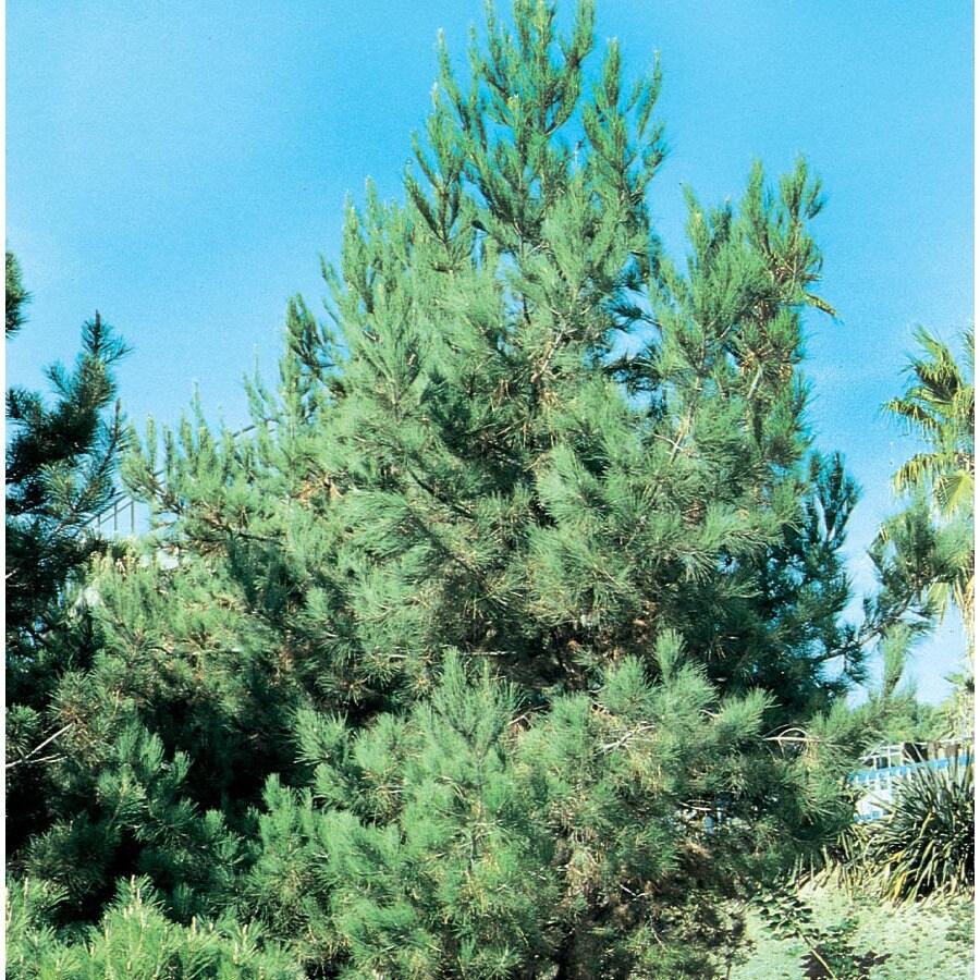 28.62-Gallon Eldarica Pine Feature Tree (L5148)