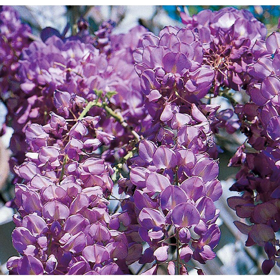13.35-Gallon Wisteria (L6343)