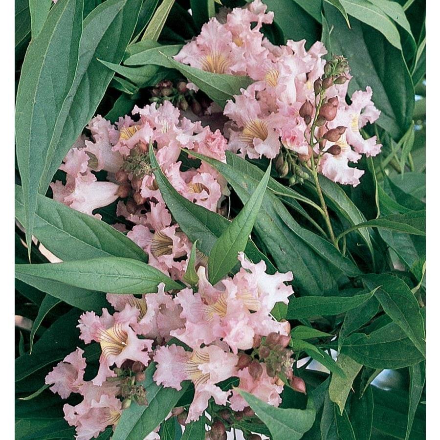 13.35-Gallon Pink Dawn Chitalpa Flowering Tree (L8533)