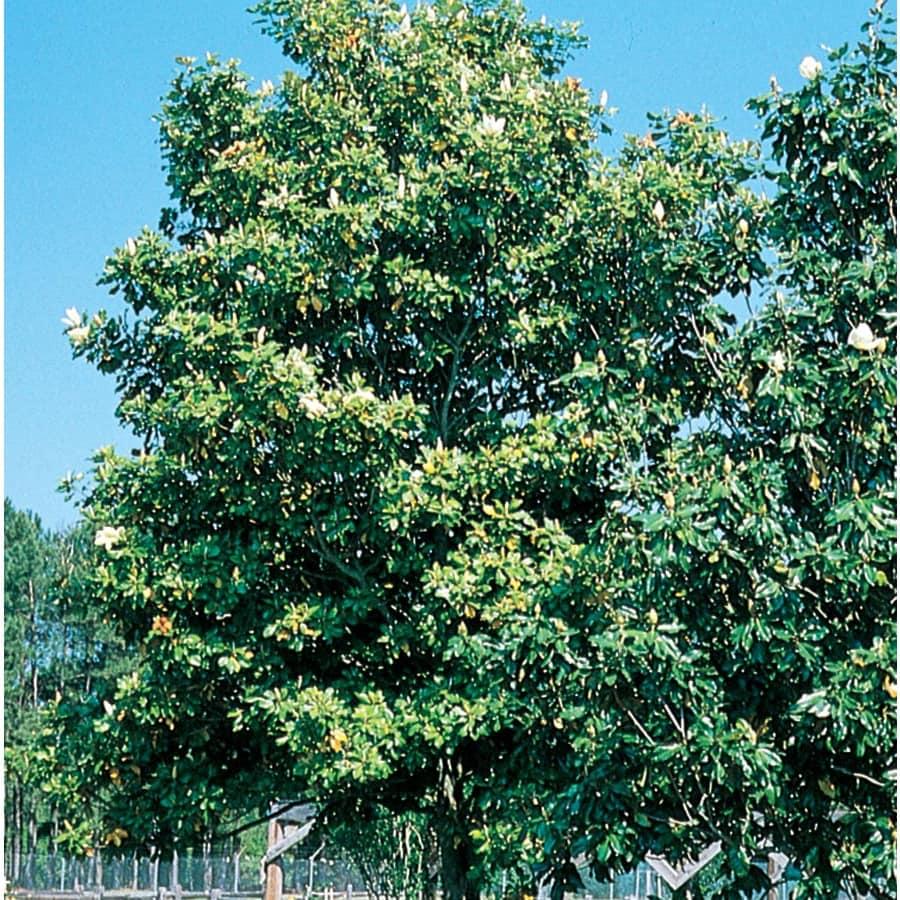 6.08-Gallon D. Blanchard Magnolia Flowering Tree (L1171)