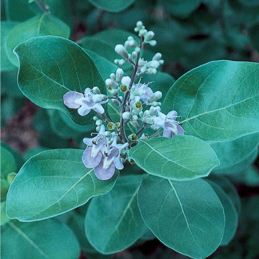 6.08-Gallon Purple Chaste Tree Accent Shrub (L7195)