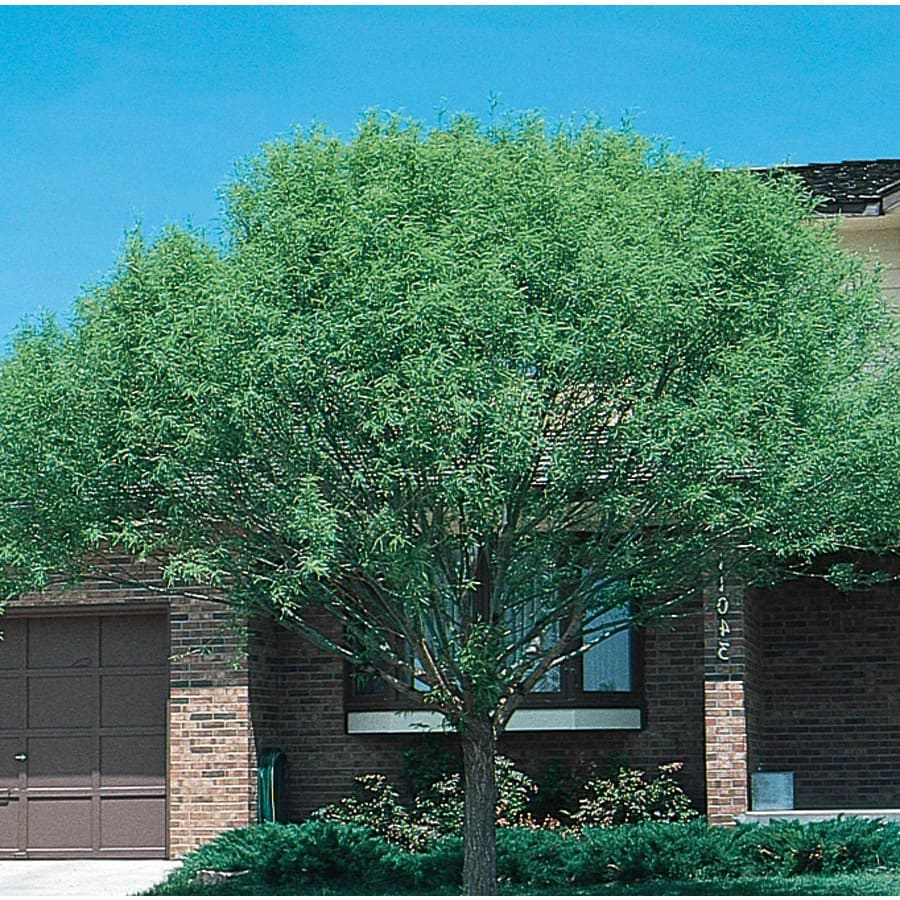 6.08-Gallon Globe Willow Shade Tree (L1412)